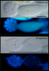 Above: Oviparous germarium and previtellogenic oocyte under bright field and DAPI. Below: Viviparous germarium and previtellogenic diploid oocyte, about 1/6th size of oviparous oocyte, which will soon commence embryonic mitoses. g, germarium; o, previtellogenic oocyte. Scale bars are both 100 μm.